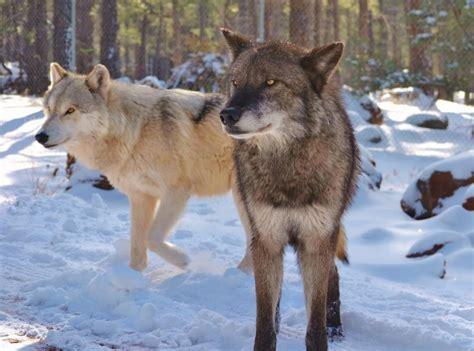 alaskan wolf alaskan tundra wolf www pixshark images galleries with a bite