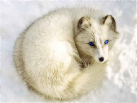 arctic fox wikipedia the free encyclopedia arctic fox background hd page 2 of 3 wallpaper wiki