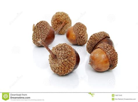 are acorns bad for dogs acorns stock photos image 16871543