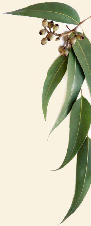 printable gum leaves 25 beautiful eucalyptus leaves ideas on pinterest