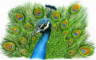 peacock art print 8x10 colored pencil peacock picture peacock