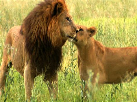 difference between lion and lioness male lions vs female lions
