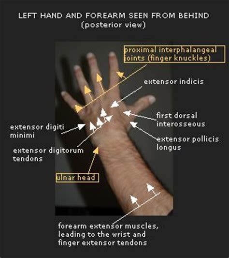 What Is The Knob On A Called by Your Bones In Wrist Pictures To Pin On Pinsdaddy