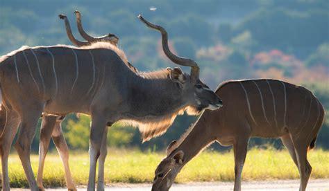 greater kudu fossil rim wildlife center