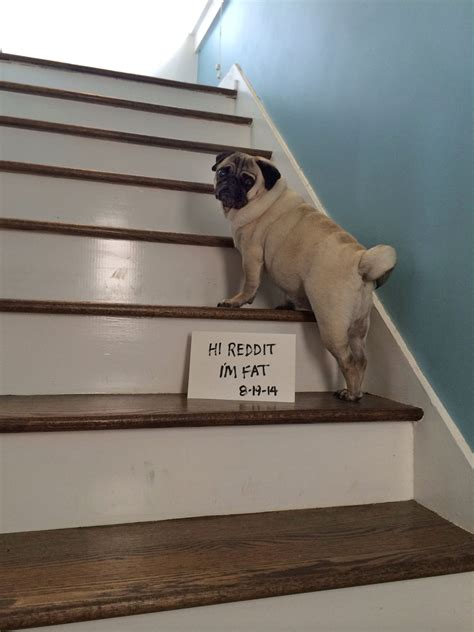 pug hopping up stairs pug climbing stairs rebrn