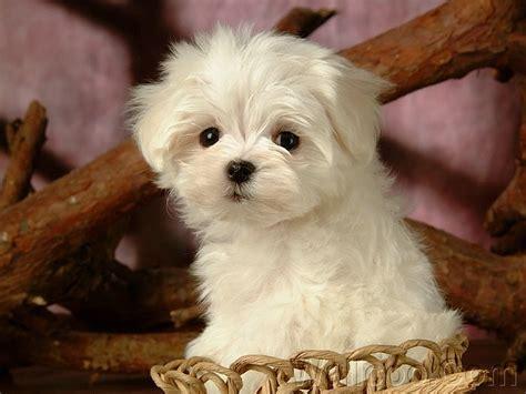 white maltese puppy animals zone