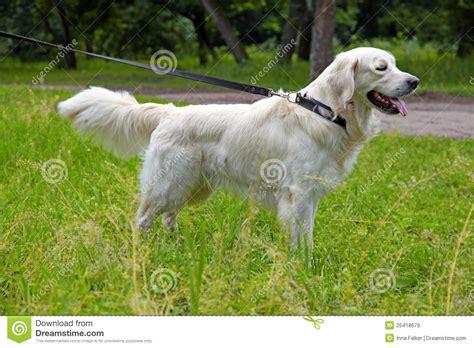 golden retriever walking golden retriever on the walk royalty free stock images image 25418679