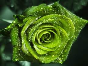 Green Rose Wallpapers HD Pictures ? One HD Wallpaper