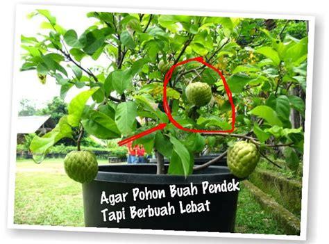 Jual Bibit Pohon Buah Di Bandung nahh ini tips buat ibu ibu cara sederhana agar pohon pendek lebat buahnya perlu tau buat kamu