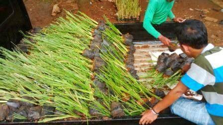 Pusat Pembibitan Rumput Vetiver jual rumput vetiver akar wangi 500 bibit 7 500 kg harga