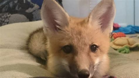 craigslist orlando puppies orlando craigslist find pet fox looking for a home bungalower