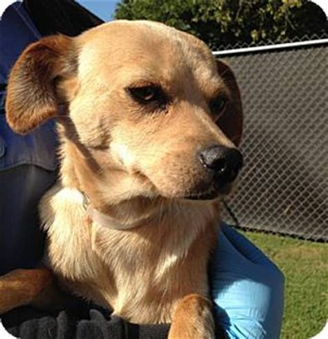 chihuahua and golden retriever mix adopted san marcos ca chihuahua golden retriever mix