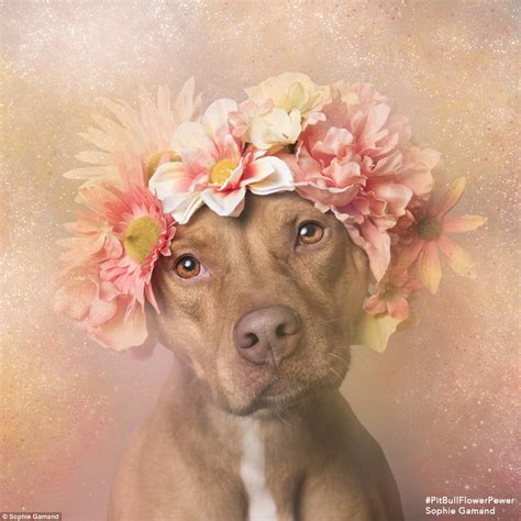 chagne color pitbull photographer gamand puts orphaned pit bull dogs in