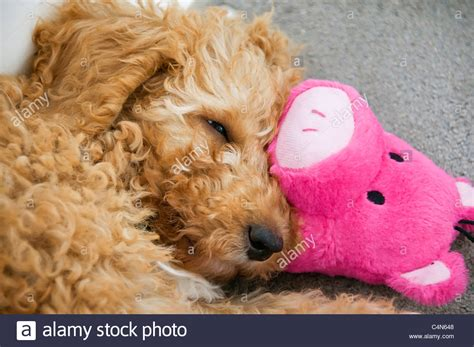 Bargain Of The Week Pink Twirl Pet Pillow by An Apricot Colored 11 Week Labradoodle Puppy Naps
