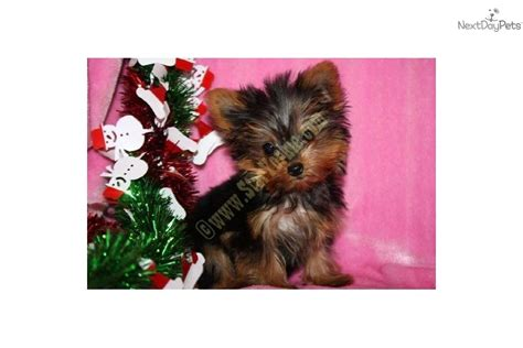 the smallest yorkie in the world meet chanel a terrier yorkie puppy for sale for 9 750 the smallest