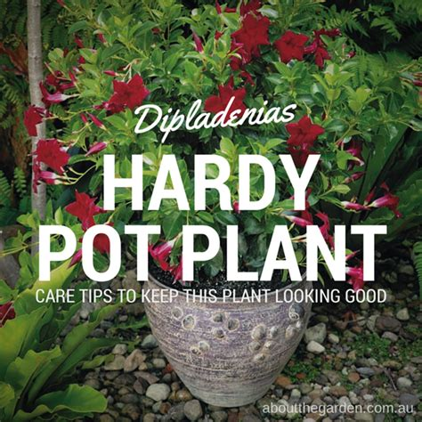 Home Decor Blogs Cape Town dipladenias hardy flowering plants good for pots about