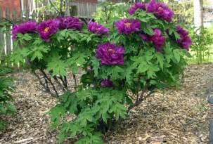 tree origination peony tree flower power peony shrub and