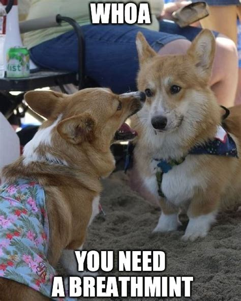 Corgi Meme - 8 best corgi memes images on pinterest corgi meme corgi
