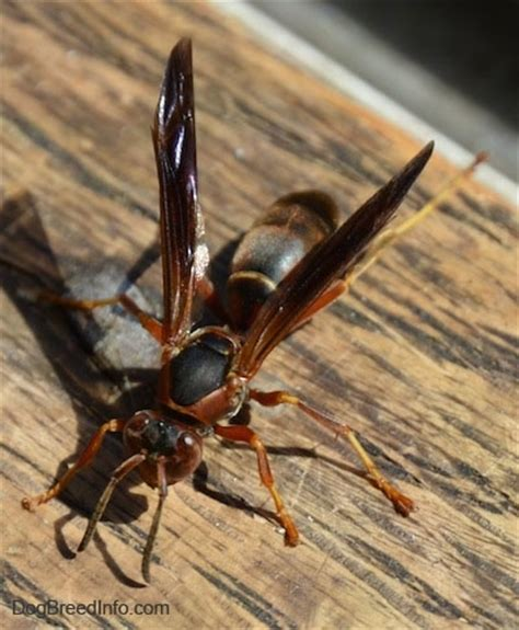 How To Make Paper Hornets - warning wasp and bee stings can be deadly to our pets