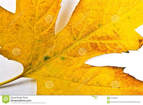 colors close to yellow autumn maple leaf isolated on white background stock photo