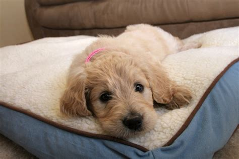 goldendoodle puppy advice goldendoodle breed information buying advice photos