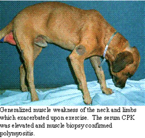 polymyositis in dogs lower motor neuron disorders in dogs cats dog2doc