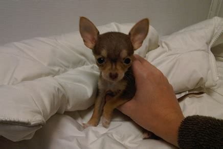 chihuahua puppies for sale in ct westchester chihuahua puppies westchester new york