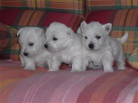 free puppies albany ny dogs albany ny free classified ads