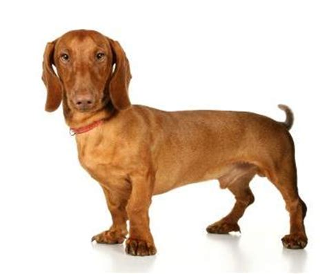 wiener breed dachshund