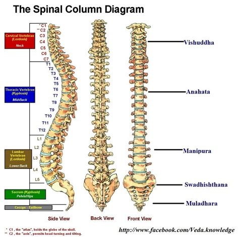 sections of the spine human vertebral spinal column male models picture