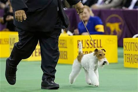 who won westminster show westminster show results 2014 who won best in show the gossip