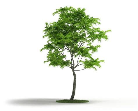 thin tree thin trunk tree 3d model cgtrader