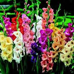 amazon com gladiolus bulb one pastel mixed mixed perennial gladiolus bulbs flowers