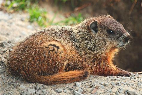 groundhog day que es 191 d 243 nde vive la marmota