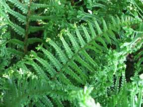 Flowering Evergreen Shrubs - dryopteris