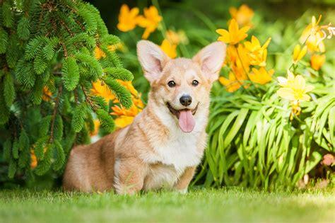 puppy farm near me 100 pembroke corgi puppies near me elizabeth u0027s corgis a