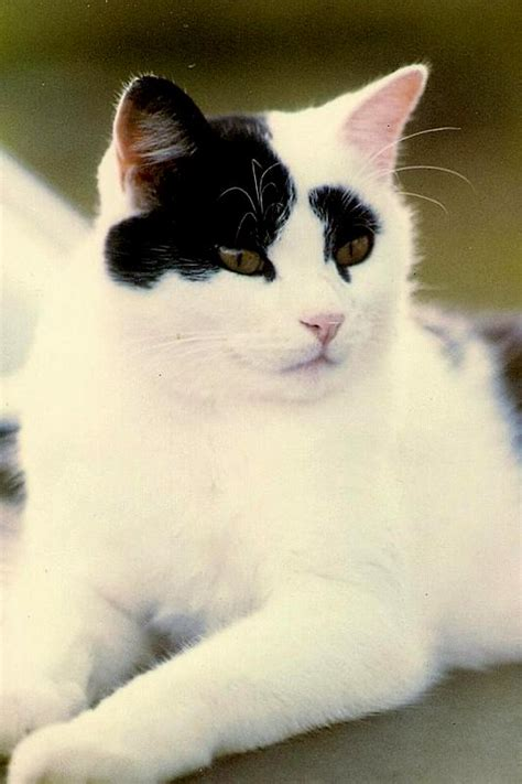 with black spots image result for white cat with black spot on breed cats big and small