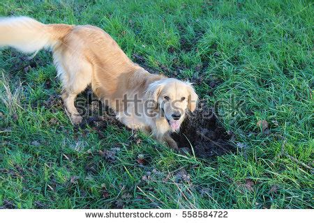golden retriever digging digging stock images royalty free images vectors