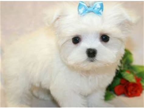 dogs for sale in ny maltese puppies for sale maltese puppies for sale in ny