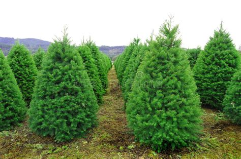 christmas tree farms in oregon oregon tree farm stock photo image of park 12286146