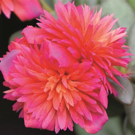 color blast portulaca colorblast magenta mast plants
