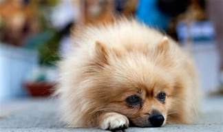 alopecia x treatment pomeranians how can i stop my losing its hair can my vet treat my pomeranian s alopecia x