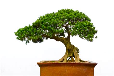type of tree bonsai tree types pictures images