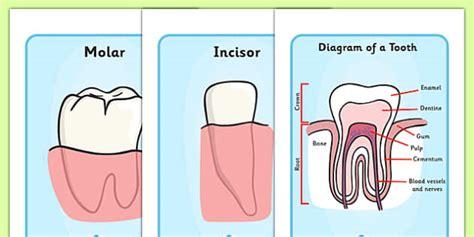 teeth diagram ks2 teeth diagram display posters teeth diagram eat