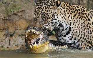 What Do Jaguars What Do Jaguars Eat The Garden Of Eaden