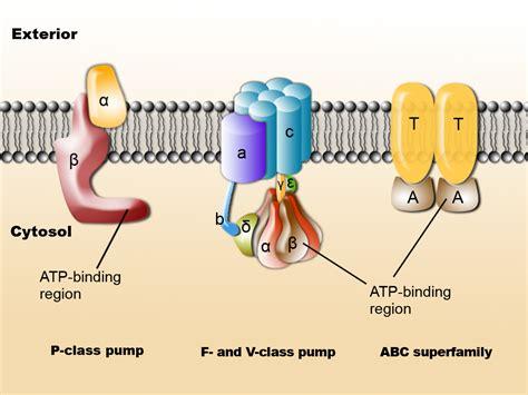 atp binding cassette 细胞生物学 英语