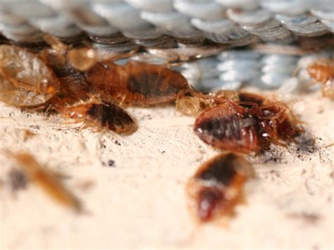 Killing Bed Bugs With by Do You Need A Bed Bug Treatment Dead Bed Bug