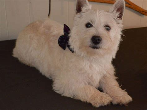 akc westie puppies for sale west highland white terrier for sale by akc westie puppies american kennel club