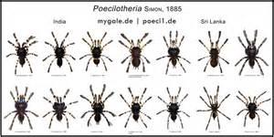 Poecilotheria metallica theraphosidae