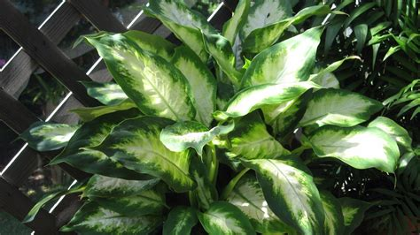 foliage plants indoor plant doctor rest weary indoor foliage plants outdoors